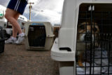 DLM1646  One of 60 transferred dogs waits to be moved into the Colorado Humane Society shelter in...
