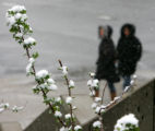 Snow covers the budding leaves on a bush near Colfax and Lincoln in downtown Denver as a pair of...