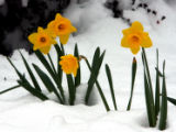 Early spring Daffodils stand in the snow in the 700 block of Columbine Street, Thursday afternoon,...
