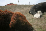 Three months after a series of blizzards hit Colorado, killing numerous livestock and damaging...