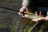 In all the South Platte River system, wild brown trout are most abundant at the head of Waterton...