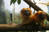 DLM7854  These are two of the Denver Zoo's golden lion tamarins, a small primate from Central and...