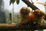 DLM7864  These are two of the Denver Zoo's golden lion tamarins, a small primate from Central and...