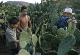 BG4178  Border Street: The Legal Permanent's Resident's father, Manuel, right, picks nopal cactus...