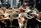 Cowboys drive longhorn cattle down 17th Street in downtown Denver as they lead the National...