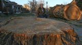 Joe Crookston (cq), 56, kneels by the base and cut sections of an old cottonwood tree at the...