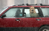A dog pokes his head out of a window, enjoying the weather,   while in a vehicle at Lincoln and...