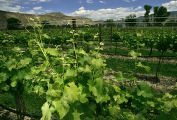 Vineyards at the Garfield Estates Vineyard & Winery located at  3572 G. Road in Palisade,...