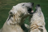 Twin polar bear brothers, Koda and Nuka, born Nov. 25, 2004, wrestle in the water at the Denver...