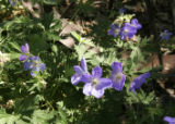 Deer resistant and drought tolerant, Johnson's Blue Geranium is a part of Williams garden. In...