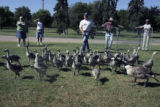 Canadian Geese and their goslings are released after the Colorado Division of Wildlife conducted ...
