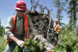 U.S.  Forest Service employee  Gary Roper (cq) , left takes a core sample from a 150 year old...