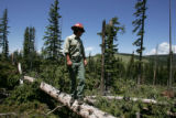 U.S.  Forest Service employee  Justin Anderson (cq )examines  an Englemann spruce tree west of the...