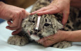 """Robbie"" a ten-week old snow leopard cub during his veterinary exam at the Denver Zoo..."