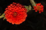 (9/15/04, Denver, CO) Zinna, Magellan Coral at the  Welby Test Garden  (JUDY WALGREN/ROCKY...