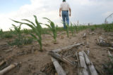 DLM1405   Arnie Good, 57, walks amongst the dried up stalks that cover the ground below sparse...