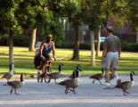Joggers and bikes share the road with Canadian Geese at City Park Monday morning July 9,2007....