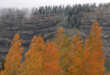 DM3886  A stand of aspens turns reddish gold below a cliff topped with frost covered evergreens on...