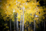 A young aspen grove amongst the pines during the first day of Colorado's rainy fall, Sunday Sept....