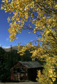 Aspens burst into color surrounding a weathered barn on road leading up to the Grays Peak...