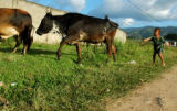 A small boy herds cattle in Yoro, a small town in  Honduras.  Children under the age of 14 are...