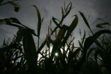 Where it all stems from the stalks of corn at the 8th annual Corn Maze at the Denver Botanic...