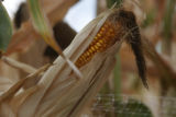 Just a cob in the maze the 8th annual Corn Maze at the Denver Botanic Garden at Chatfield, ...