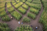 the 8th annual Corn Maze at the Denver Botanic Garden at Chatfield,  Jefferson Ct., Colo. Friday ,...