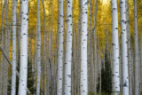 Autumn aspens in the Maroon Bells - Snowmass Wilderness, near Ashcroft, Colo. September 22, 2007....