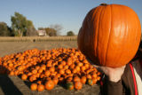 Ryan Goff (cq) of Thornton, picks out pumpkins at the Crazed Corn Field Maze at 104th Ave., and...