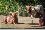 A trio of Ankole-Watusi cattle , the newest addition to the Denver Zoo, Tuesday June 3,2008. The...
