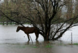 A horse stands in a flooded field in Craig, Thursday, May 22, 2008. Water from the Yampa River,...