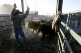 Jay Frost, left, works the alleys of the corral as he separates calves into pens as they wean...