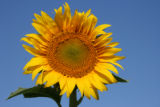 Photographer: Jody Nighswonger, Keenesburg  The plant: Sunflower  The camera: Canon EOS Rebel XTi