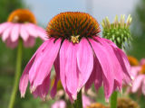 Photographer: Heather Benjamin, Loveland  The plant: Purple coneflowers  The camera: Olympus C750...