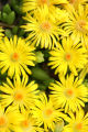 Flowers from South Africa.  This kind of iceplant originated in South Africa.  Yellow flower of an...