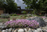 A garden in Littleton is overrun with lush foilage despite being drought tolerant. This is a view...