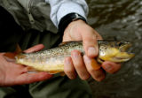 Ed Dentry/Rocky Mountain News For June 27, 2008, column This feisty brown trout took a Red Quill...