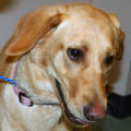 Denver, a 1-year-old female Labrador retriever mix. Given Denver's youth and breed, she would make...