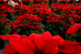 (PG4420) Horticulturist Christie Hale tends to the 1500 poinsettias at the Denver Greenhouse on...