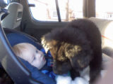 Two-month-old chow mix, Midnight, crawls over 5-month-old Ricky Rouse in a van as the child's...