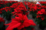 (PG4446) Horticulturist Christie Hale tends to the 1500 poinsettias at the Denver Greenhouse on...
