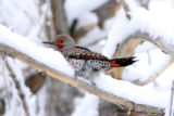 Birds 471 Northern flicker male