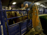 At the National Western Stock Show bare back bronc rider Josh Luger of ND gets ready for his ride...