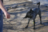 DM2316  Daisy, a 1 and 1/2 year-old black lab, shakes off after fetching a ball thrown by her...