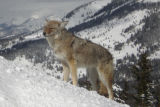 PHOTO CREDIT:   BETH BUCK/SPECIAL TO THE ROCKY Here are a couple of the pictures of the coyote...
