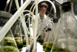 Blake Sherman, research assistant for Solix Bio Fuels, tends flasks of various strains of algea...