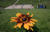 DM0197  The Rudbekia Denver Daisy is a totally new cultivated variety created for the city's 150th...