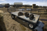0802 The heads of three bison lay on a flat bed truck at the Downare Ranch near Hartsel Colo.,...