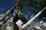 MJM238 Worker, Salvador Diaz (cq), 21, loads trees onto a flatbed truck Thursday 08/07/08 in...